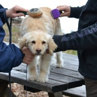 Dog (cocker doodle) being groomed by two owners