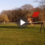Tightrope walkers have got nothing on this dog [video]
