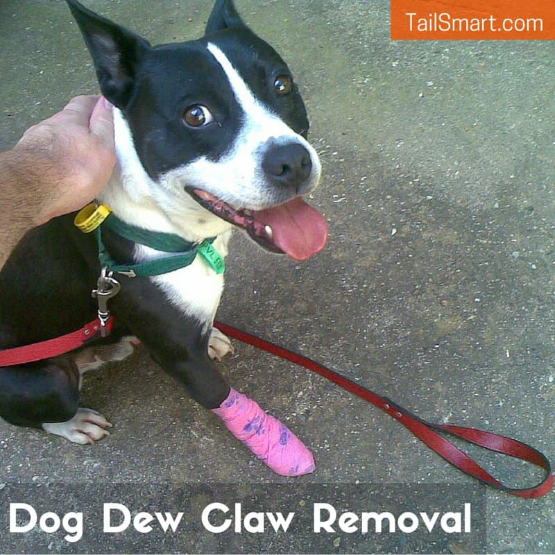 Dog after having his dew claw removed