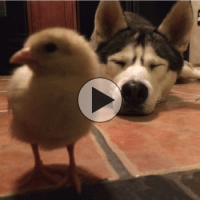 Husky and chick make a cute pair of friends