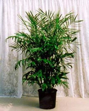 Bamboo Palm Safe For Cats And Dogs