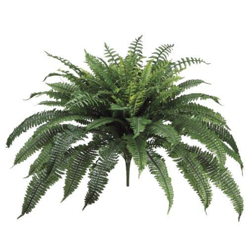 Boston fern safe for cats and dogs