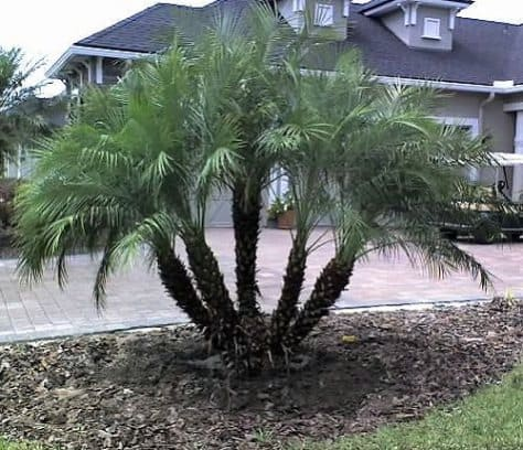 Dwarf date palm safe for cats and dogs