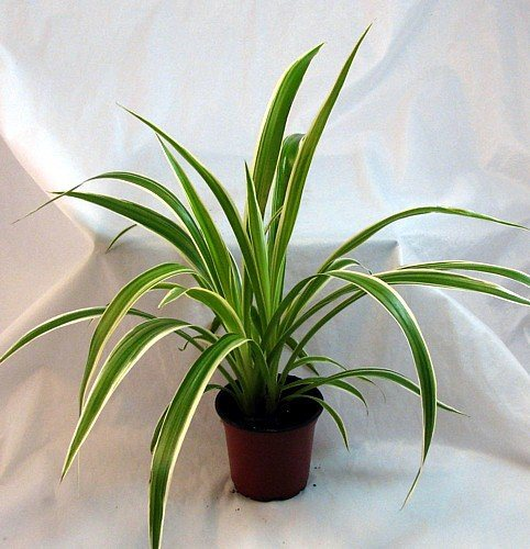 Spider plant safe for cats and dogs