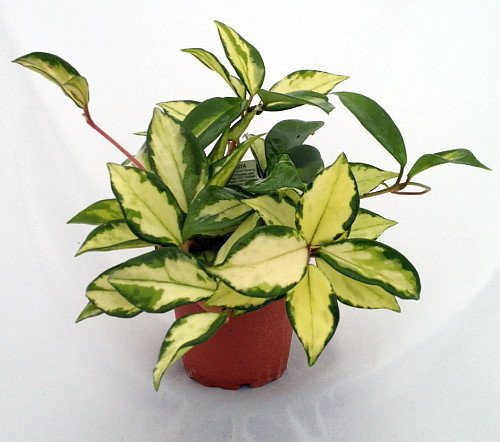 Variegated wax plant safe for cats and dogs