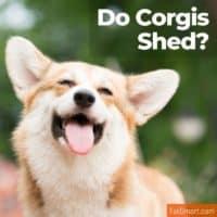 Do Corgis Shed?