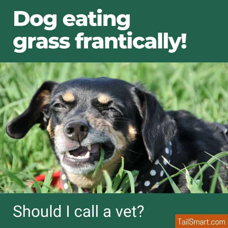 Dog eating grass frantically!