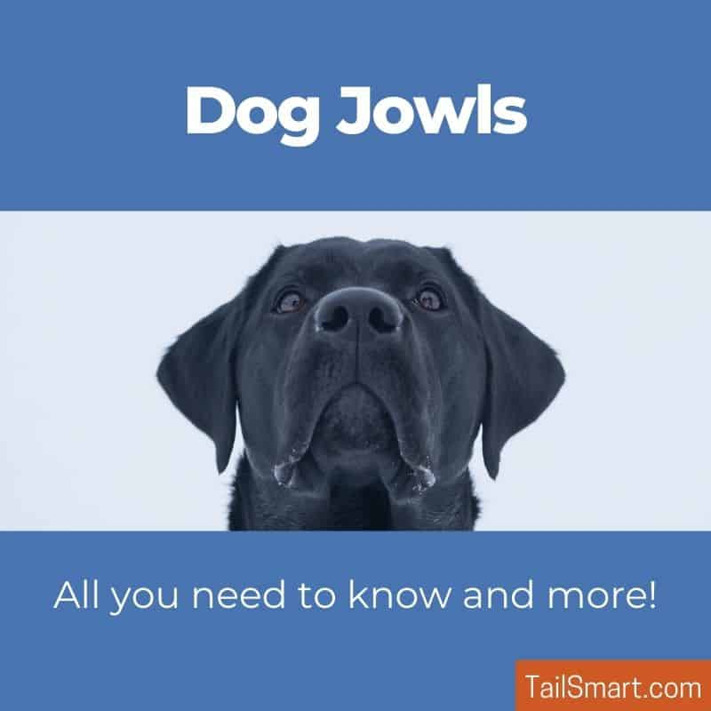 Dog Jowls - All you need to know and more!