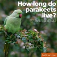 How long do parakeets live?